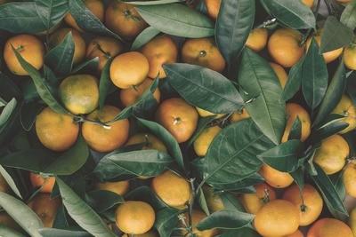 Orange Tree Shrub