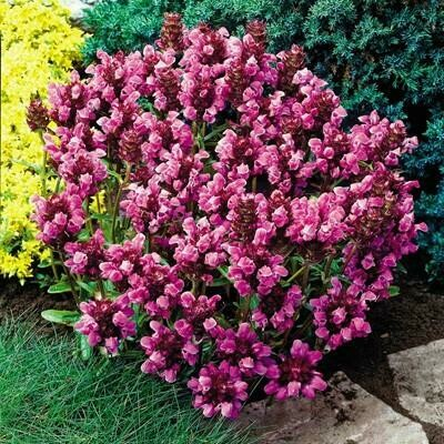 Allheal 'Bella Deep Rose' - Prunella