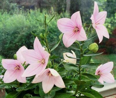 Balloon Flower 'Astra Pink' - Platycodon