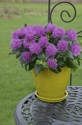 Bee Balm 'Pardon My Purple' - Monarda