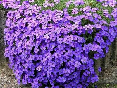 Bell Flower 'Birch Hybrid' - Campanula