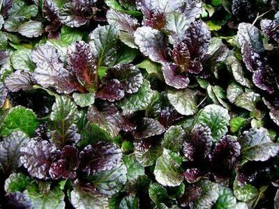 Bugleweed 'Black Scallop' - Ajuga