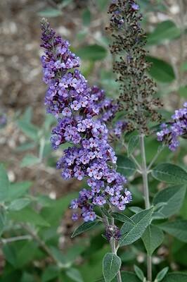 Butterfly Bush 'True Blue' - Buddleia