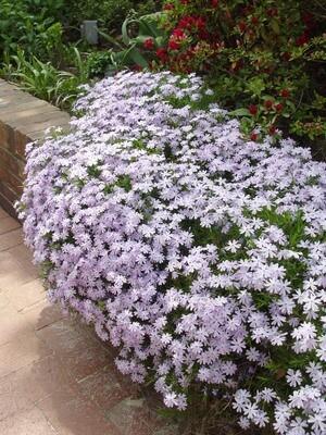 Creeping Phlox 'Lavender'