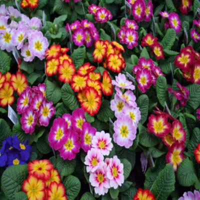 English Primrose 'Danova Series' - Primula