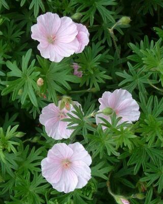 Geranium 'Striatum' - Geranium Sanguineum