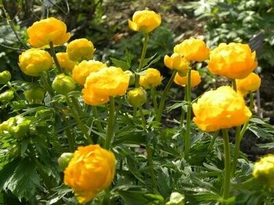 Globe Flower 'Orange Princess' - Trollius