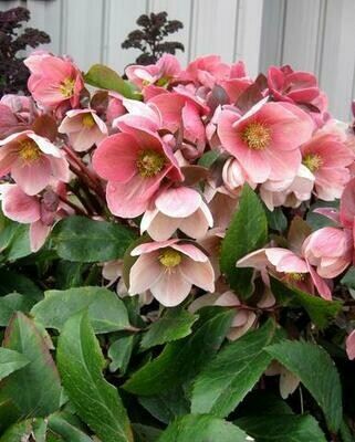 Hellebore 'Pink Frost' - Helleborus