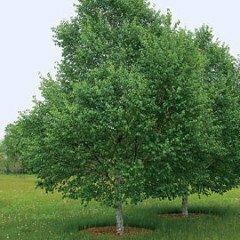 Birch 'White Satin' - Betula