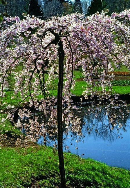 Double Weeping Flowering Cherry - Prunus Subhirtella