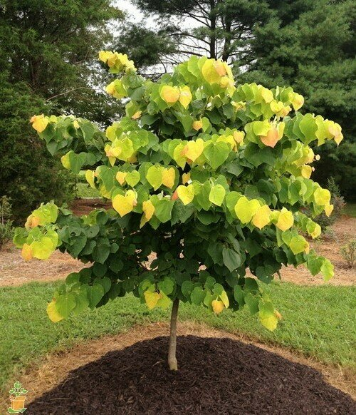 Eastern Redbud 'The Rising Sun' - Cercis Canadensis