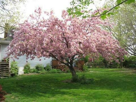 Flowering Cherry 'Kwanzan' - Prunus Serrulata