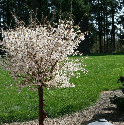 Flowering Cherry 'Little Twist' - Prunus Incisa