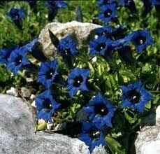 Gentian 'True Blue' - Gentiana