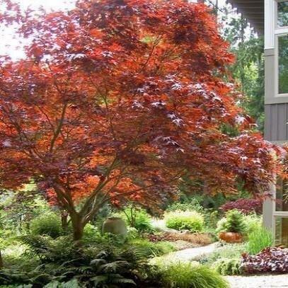 Japanese Maple 'Bloodgood' - Acer Palmatum