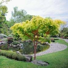 Japanese Maple 'Coralbark' - Acer Palmatum