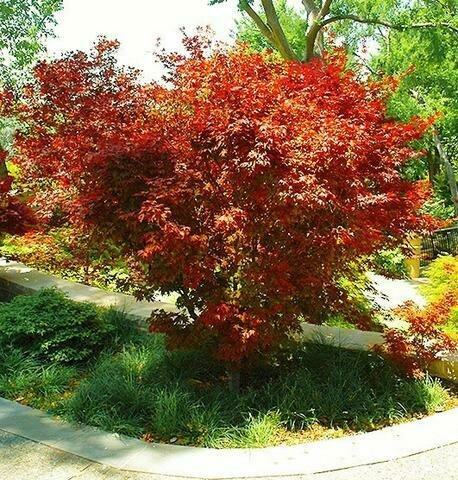 Japanese Maple 'Ruslyn In The Pink' - Acer Palmatum