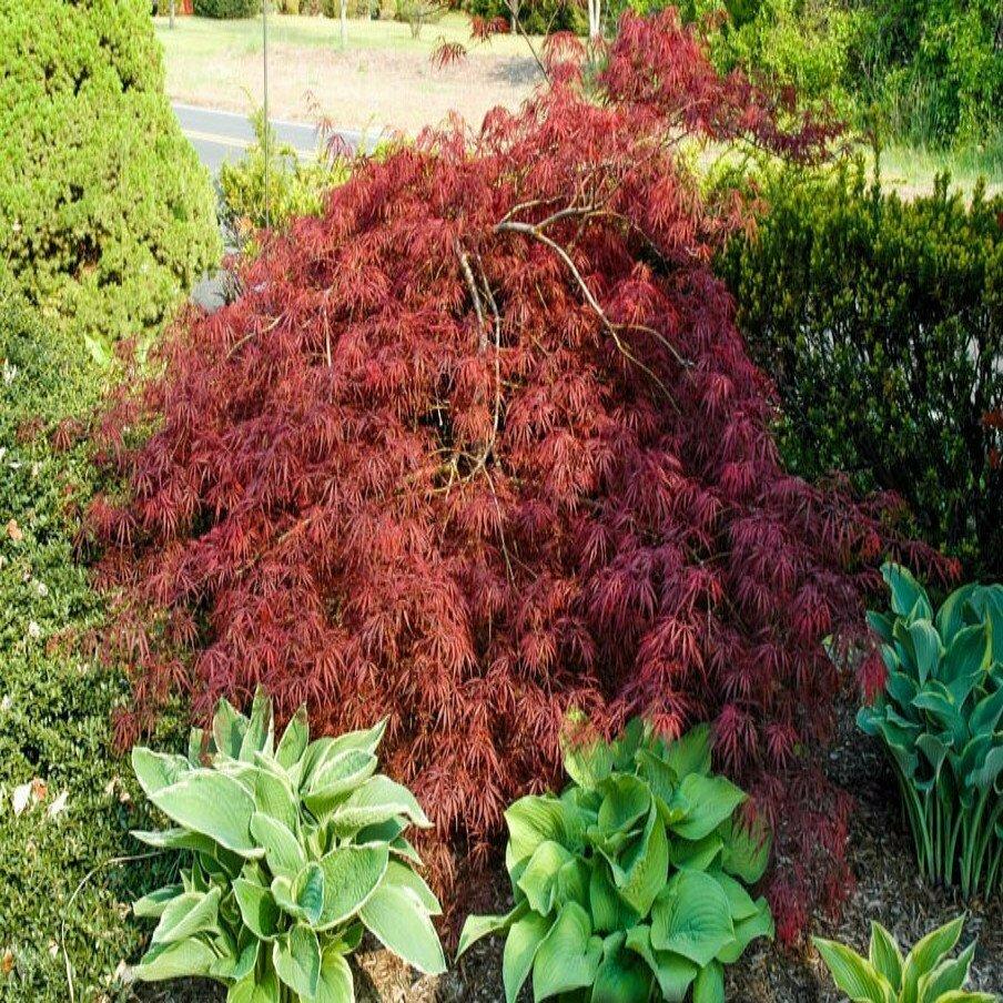 Japanese Maple 'Threadleaf' - Acer Palmatum
