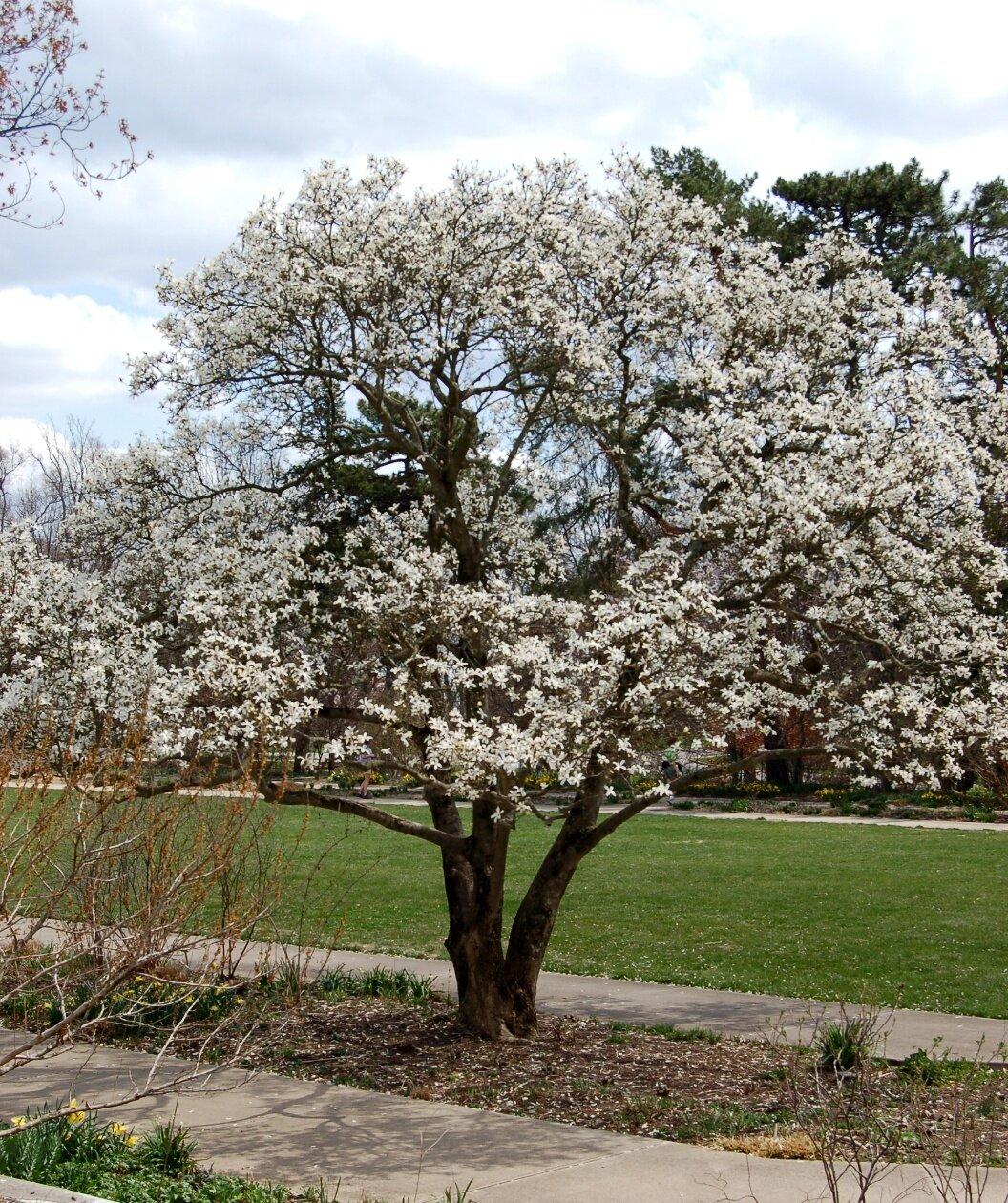 Magnolia 'Royal Star'