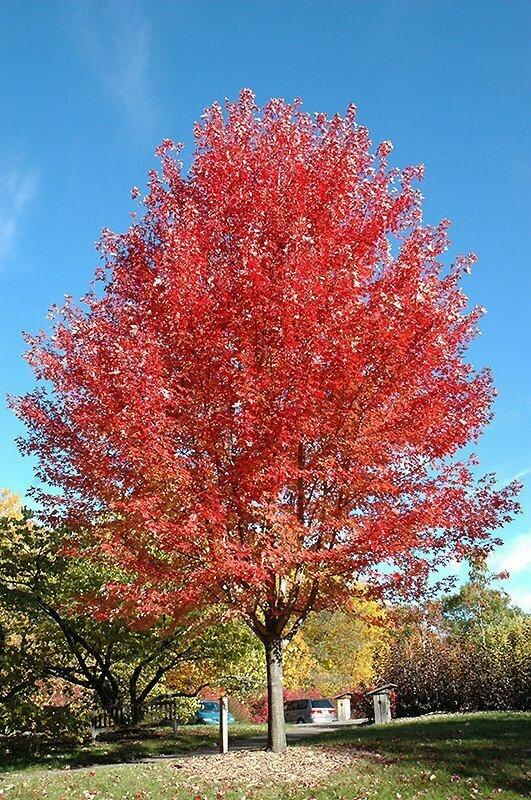 Maple 'Autumn Blaze' - Acer X Freemanii