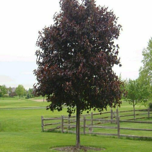 Maple 'Crimson King' - Acer Platanoides