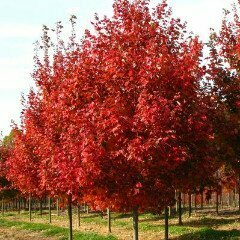 Maple 'October Glory' - Acer Rubrum