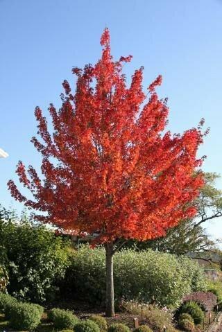 Maple 'Redpointe' - Acer Platanoides