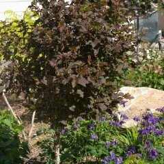Ninebark 'Summer Wine' - Physocarpus Opulifolius