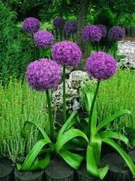 Ornamental Onion 'Globemaster' - Allium