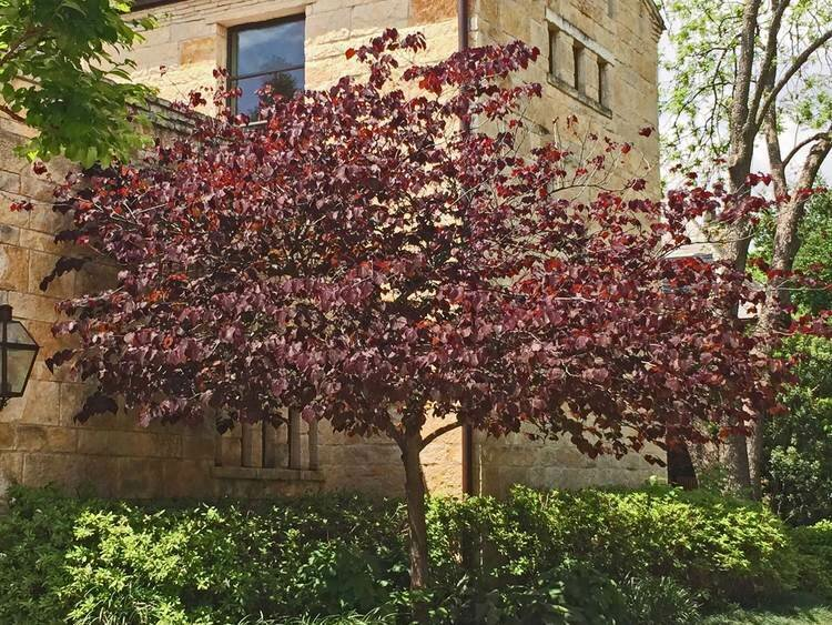 Redbud 'Forest Pansy' - Cercis Canadensis