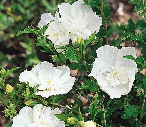 Rose of Sharon 'White Chiffon' - Hibiscus Syriacus