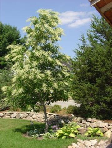 Sourwood - Oxydendrum Arboreum