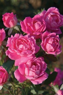 Rose 'Knock Out 'Pink Double''