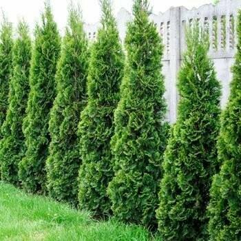 Arborvitae 'Emerald Green' - Thuja Occidentalis