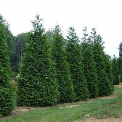 Arborvitae 'Green Giant' - Thuja Plicata
