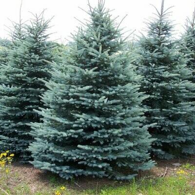 Colorado Spruce - Picea Pungens