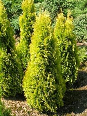 Arborvitae 'Forever Goldy' - Thuja Plicata