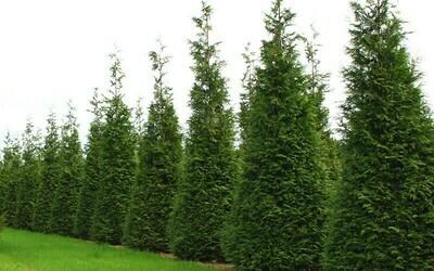 Arborvitae 'Steeplechase' - Thuja