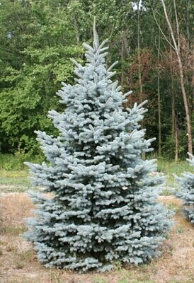 Baby Blue Spruce 'Blue Is Cool' - Picea Pungens