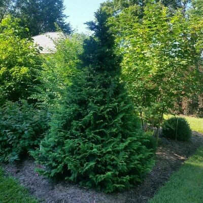 False Cypress 'Soft Serve' - Chamaecyparis