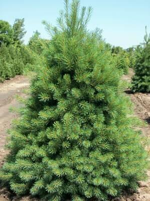 Eastern White Pine - Pinus Strobus