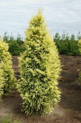 Golden Japanese Cedar