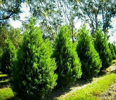 Leyland Cypress - Cupressocyparis Leylandii
