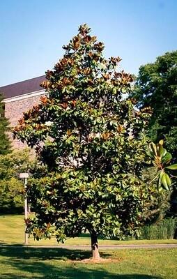 Southern Magnolia 'Edith Bogue'