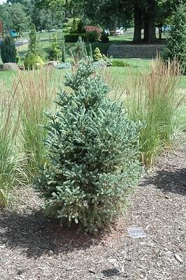 Spruce 'Yukon Blue White' - Picea Glauca