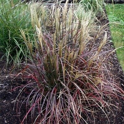 Dwarf Maiden Grass 'Little Miss' - Miscanthus
