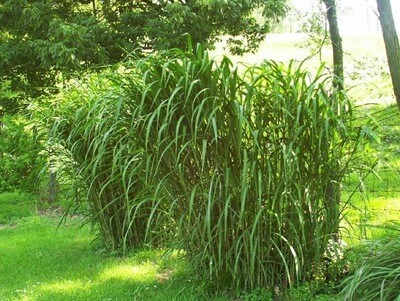 Giant Silver Grass - Miscanthus