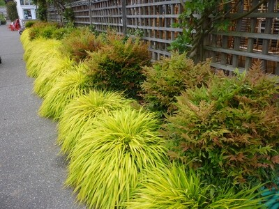 Japanese Forest Grass 'All Gold' - Hakone