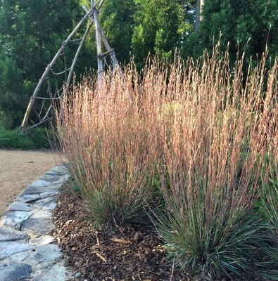Carousel Little Bluestem - Schizachyrium Scoparium
