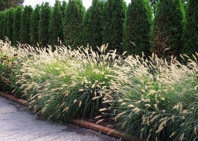 Dwarf Fountain Grass 'Hamlen'